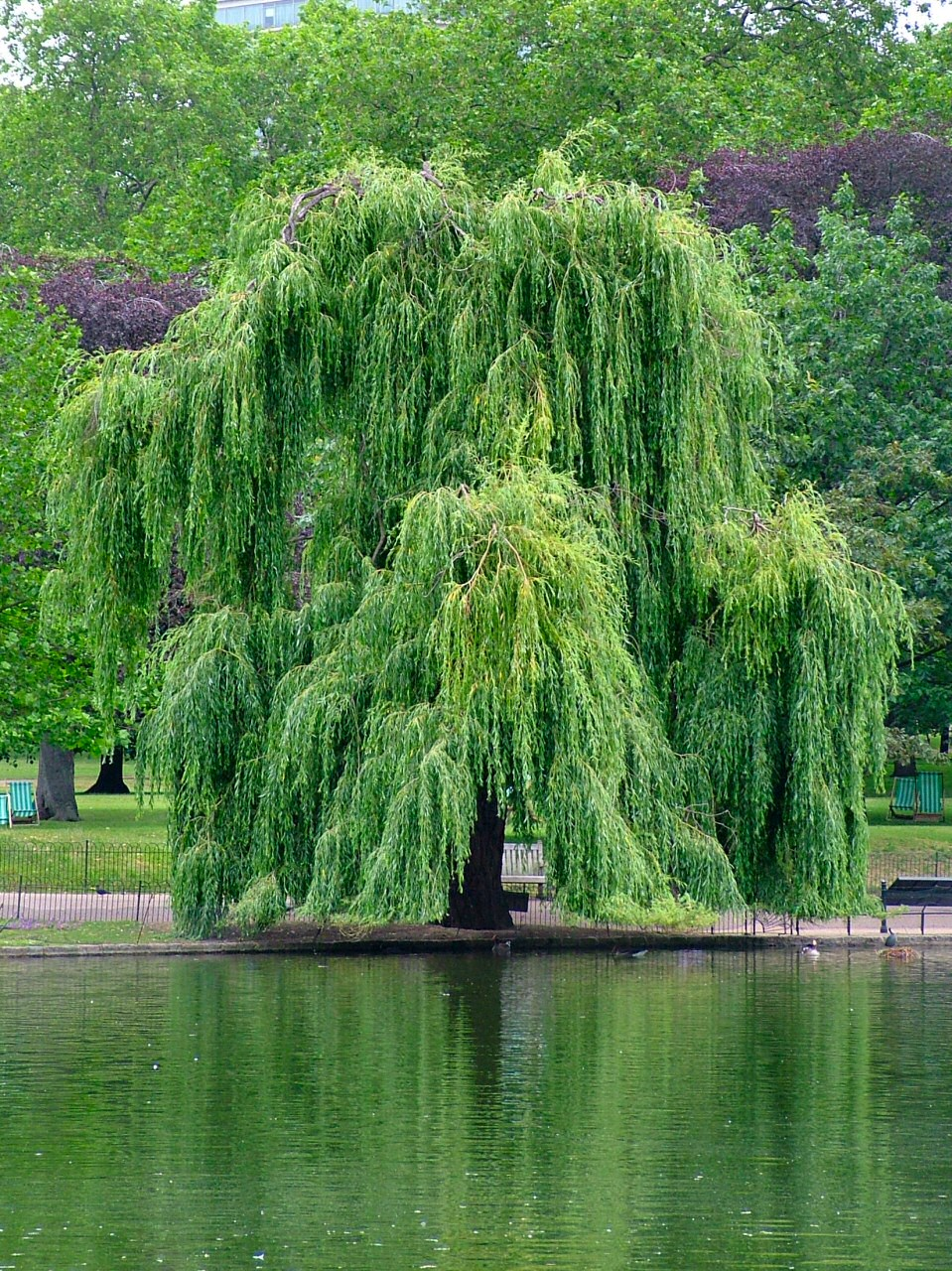 Algunas notas sobre las verdes anomal as en los rboles de for Arbol perenne para jardin